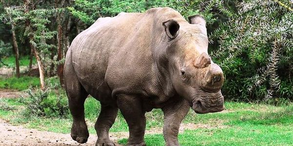 Kenya - Take Steps to Save the White Rhino from Extinction