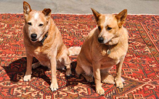 Panga & Sheila Relaxing on Heriz