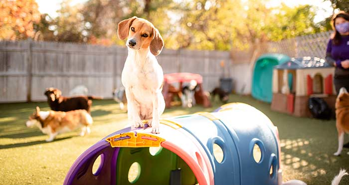 pancakes the beagle playing at dingos dogsitting