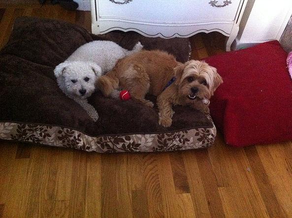 happy dogs love dingos dogsitting service