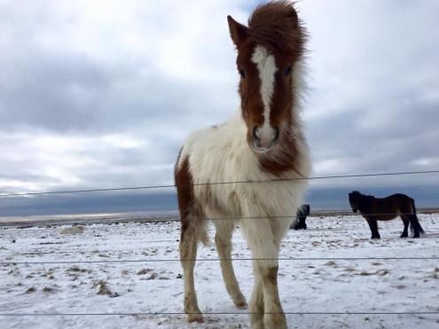 Icelandic Horses 4