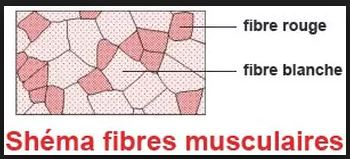 dinguedevelo - muscles - fibres rouges et blanches