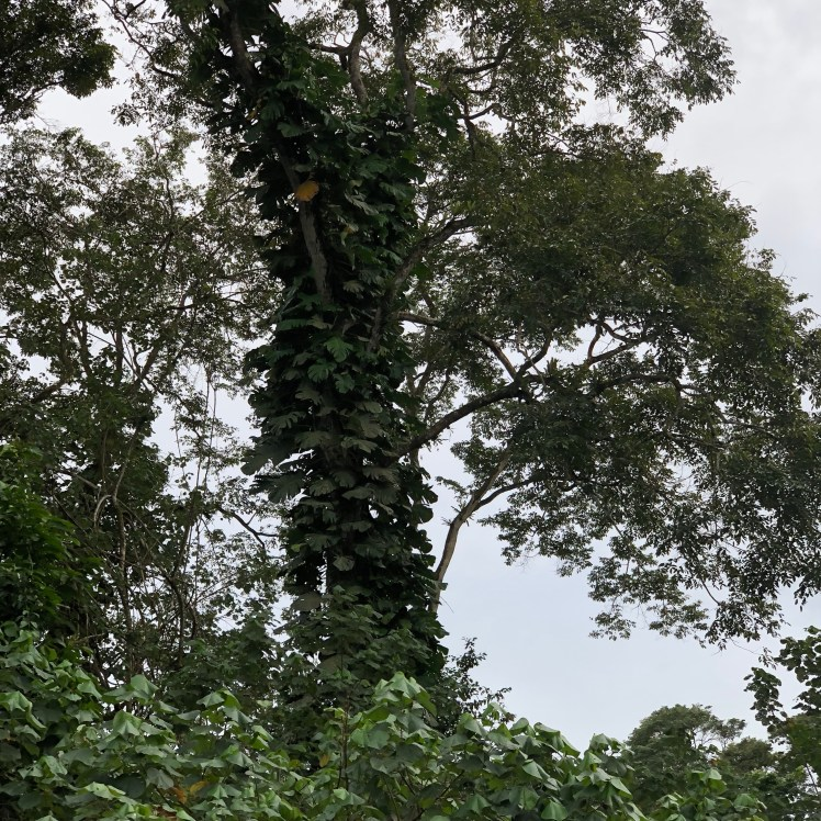 Costa Rican rainforests have several layers, climbers reach up to light