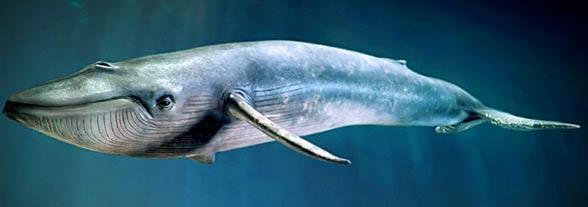 Top 10 Heaviest Animals
