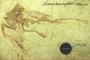 Un dinosaure à plumes et sachant voler... (la tête est à gauche et la queue à droite)