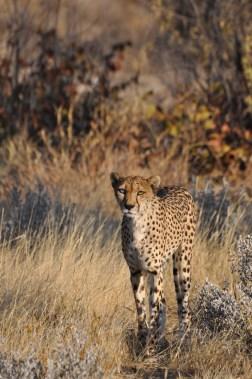 cheetah-park-nambia-132