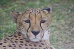 cheetah-park-nambia-275