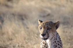 cheetah-park-nambia-362