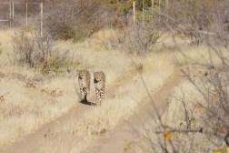 cheetah-park-nambia-549