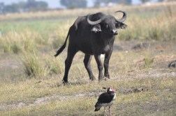chobe-national-park-zimbabwe-303