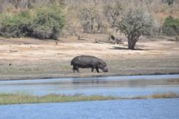 chobe-national-park-zimbabwe-326