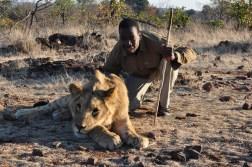 zimbabwe-lion-walk-064