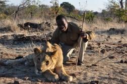 zimbabwe-lion-walk-065