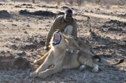 zimbabwe-lion-walk-127