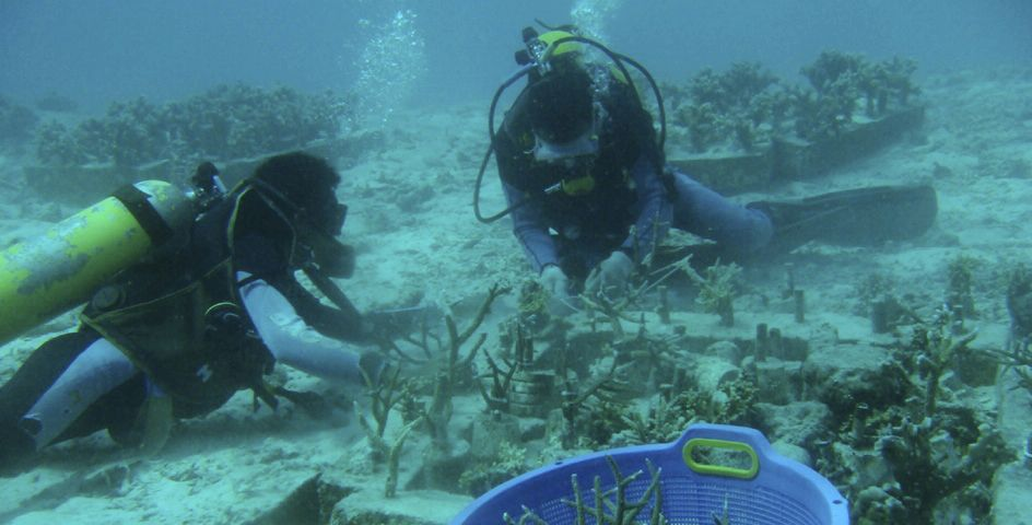Divers transplant corals at a spot damaged by an earthquake and tsunami.