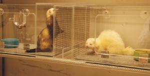 Photo of two caged ferrets, one appears normal in color and playful, the other albino and skittish.