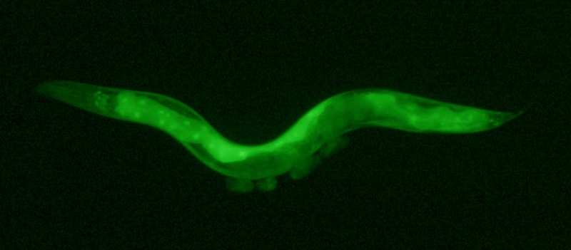 Microscopic view of a glowing green worm