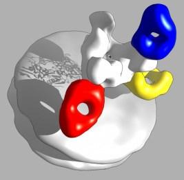 ZMapp antibodies
