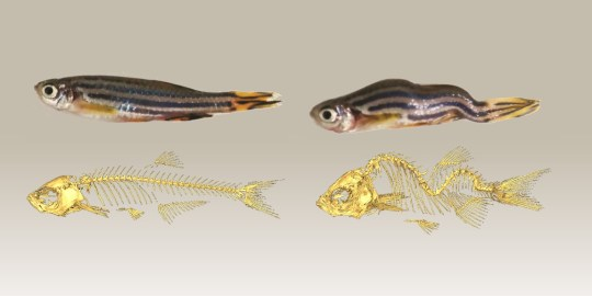 Zebra fish model for scoliosis study