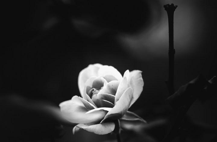 Die letze Rose