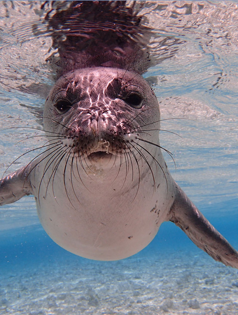 young_monk_seal