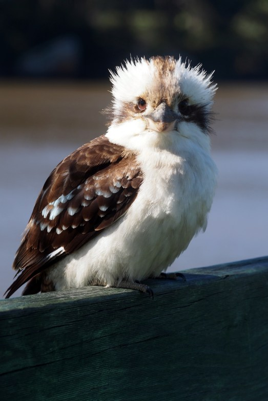 The kookaburra who ate our breakfast