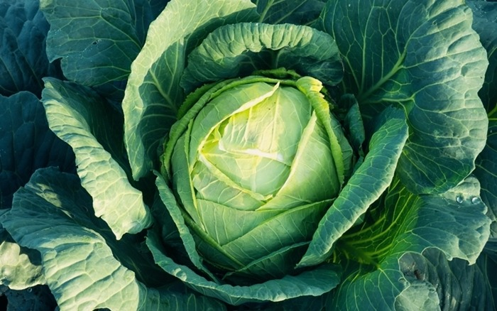 Growing Cabbage In a Container The Correct Way (Guide)