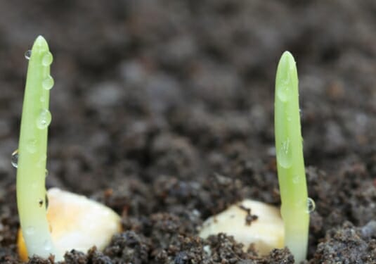 How Long Sweet Corn Takes To Germinate