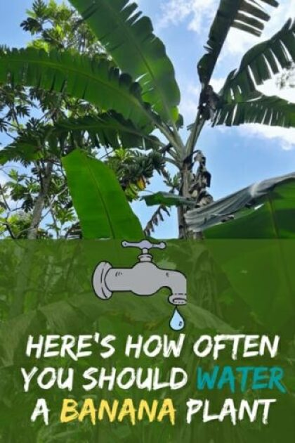 Here's How Often You Should Water A Banana Plant Need
