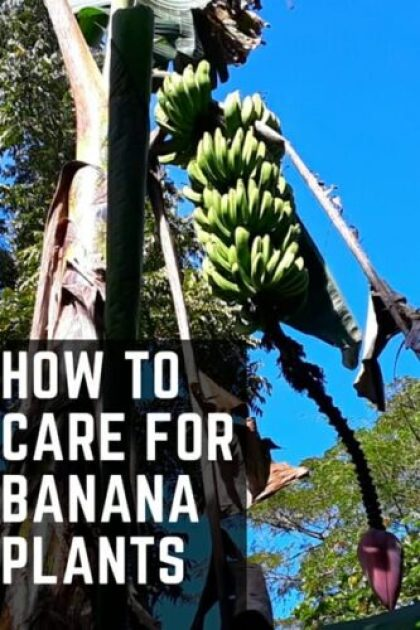 How To Care For Banana Plants