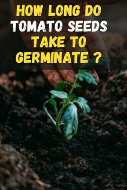 How Long Tomato Seed Takes To Germinate