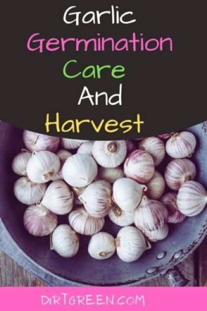 How Long Does it Take Garlic to Germinate