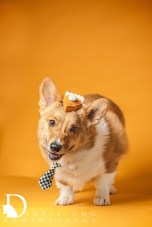 In-home studio sessions with Dirtie Dog Photography. Seattle pet photography for people who love their pets. www.dirtiedogphotography.com *Pumpkin pie hat by All Dog Kind www.alldogkind.com