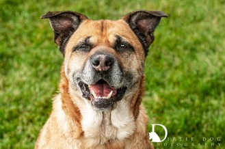Seattle pet photography. Capturing the story of old dogs in the PNW and beyond. www.dirtiedogphotography.com