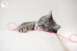 Dobbie was my first #WhynotMEpets cat session. He will forever be one of my favorites. Seattle pet photography. www.dirtiedogphotography.com
