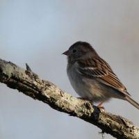 LBJ Challenge - What Kind of Sparrow?