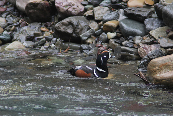 Harlequin Duck (Right in Front of Me!)