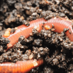 Soil builder worms