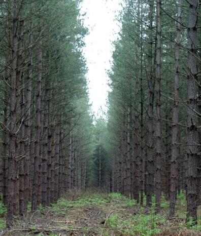 thetford_trees_3_v2