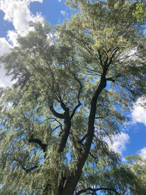 A willow tree stands tall in front of a blue sky with white clouds.