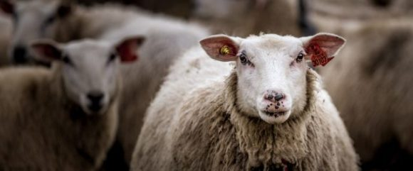 A closeup photo of two white sheep are in a wooden pen.  One looks directly at the camera.