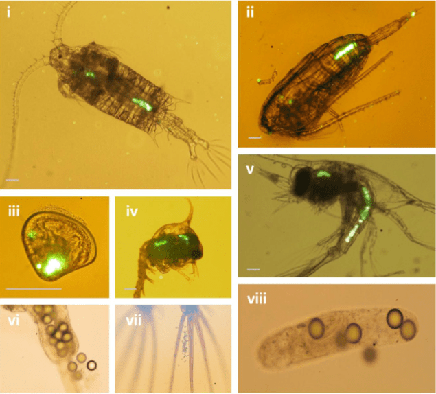 Images of microplastic ingestion by plankton. From Cole, Matthew, et al.