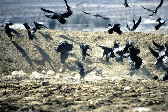 Common ravens at a landfill. CC.