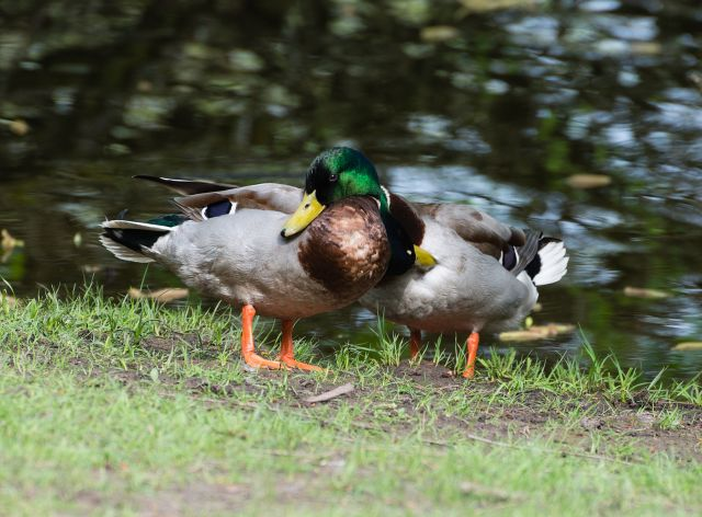 Couple_of_two_male_mallard_ducks_-_homosexual_Anas_platyrhynchos_-_Moenchbruch_-_Mönchbruch_-_May_3rd_2013_-_01