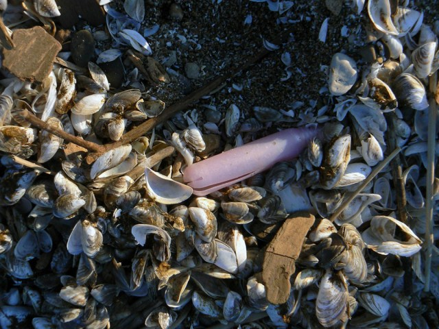 A weathered pink tampon applicator nestled among clam shells on the beach