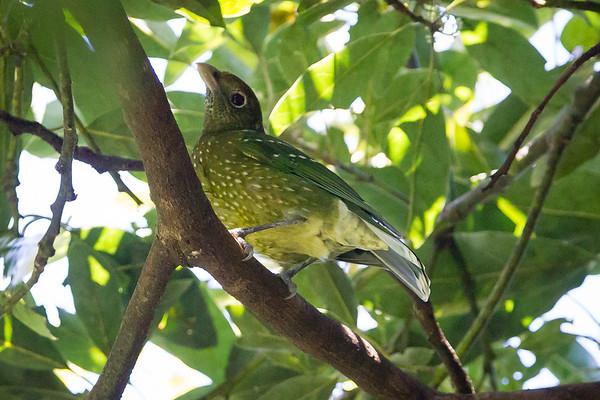 Green Catbird (Ailuroedus crassirostris) - Dilkusha Nature Reserve - Dilkusha Birds; Maleny, Sunshine Coast, Queensland, Australia; 06 August 2012. Photos by Des Thureson - http://disci.smugmug.com.