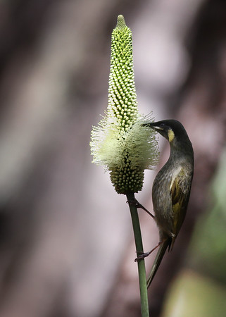 Lewin's Honeyeater (Meliphaga lewinii) - Coastal Coolum and Birds in Noosa National Park; Coolum & Noosa, Sunshine Coast, Queensland, Australia; 06 November 2012. Photos by Des Thureson