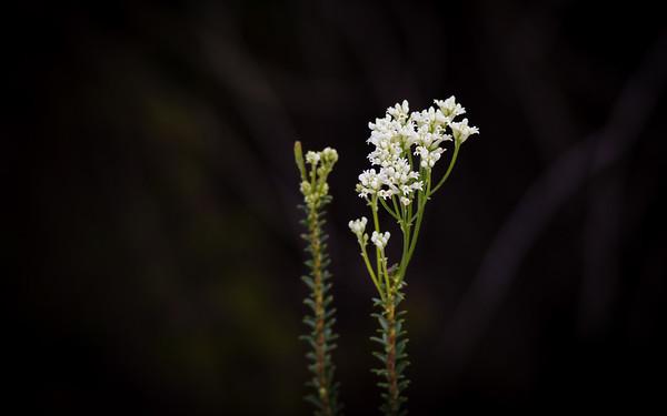 Devil's Rice (Conospermum taxifolium) - Birds & Flowers - Noosa National Park, Sunshine Coast, Queensland, Australia. Sunday 28 July 2013 (Day 3). Photos by Des Thureson - http://disci.smugmug.com.