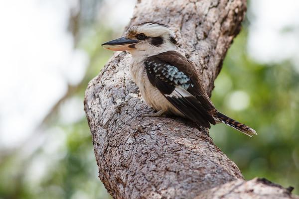 Laughing Kookaburra (Dacelo novaeguineae) - Noosa National Park, Sunshine Coast, Queensland, Australia; 06 November 2012. Photos by Des Thureson - disci.smugmug.com