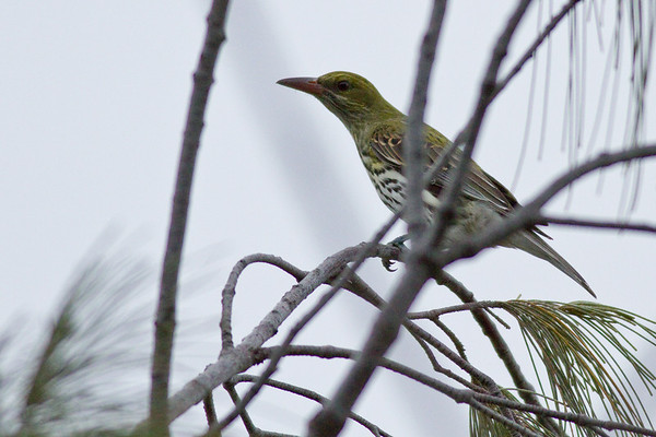Based on the orange beak, perhaps an Olive Backed Oriole (Oriolus sagittatus) - Birds - Noosa National Park, Noosa Heads, Sunshine Coast, Queensland, Australia; on a very cool, overcast 9 June 2011. Photos by Des Thureson:  http://disci.smugmug.com.
